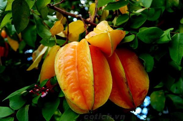 Chùm khế chín mọng - Sự tích cây khế (Truyện cổ tích Việt Nam nổi tiếng)