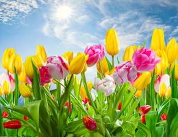 Sự tích hoa Tulip (Hoa uất kim hương) – Truyện cổ tích về các loài hoa