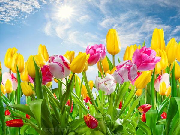 Sự tích hoa Tulip (Hoa uất kim hương) Truyện cổ tích về các loài hoa