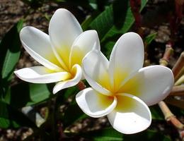 Sự tích hoa đại (hoa sứ) – Truyện cổ tích Việt Nam chọn lọc cho bé