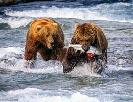 Hai chú gấu tham ăn