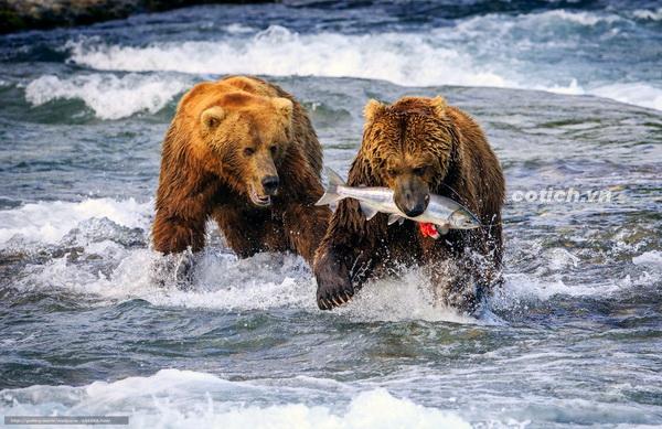 Hai chú gấu tham ăn - Truyện ngụ ngôn ý nghĩa cho bé