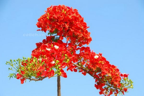 Kết quả hình ảnh cho hoa phượng đỏ