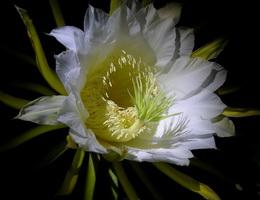 Truyện cổ tích sự tích hoa Quỳnh – Nữ hoàng của bóng đêm