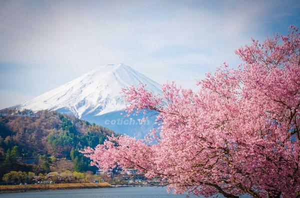 Sự tích hoa anh đào - Truyền thuyết và ý nghĩa trong văn hóa Nhật Bản